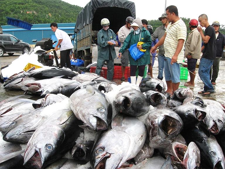 Khai thác được hơn 2.400 tấn cá ngừ đại dương